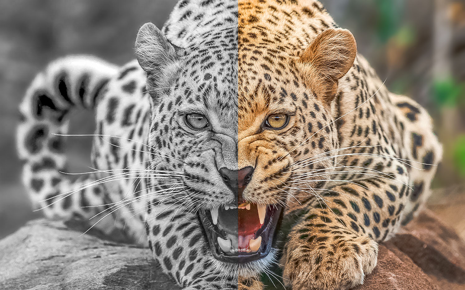 https://i1.wp.com/digital-photography-school.com/wp-content/uploads/2019/05/Leopard-Color-BW.jpg?resize=1500%2C938&ssl=1
