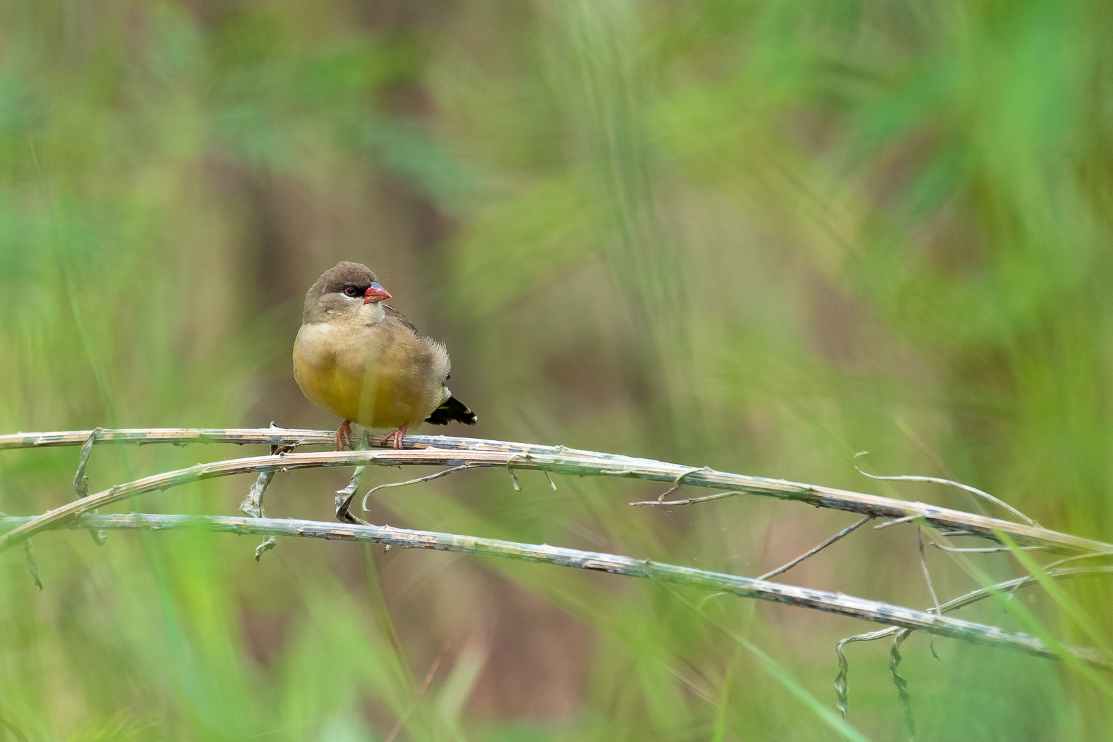 Image: This bird was behind the grass. There was significant clutter in front of it and the lens foc...