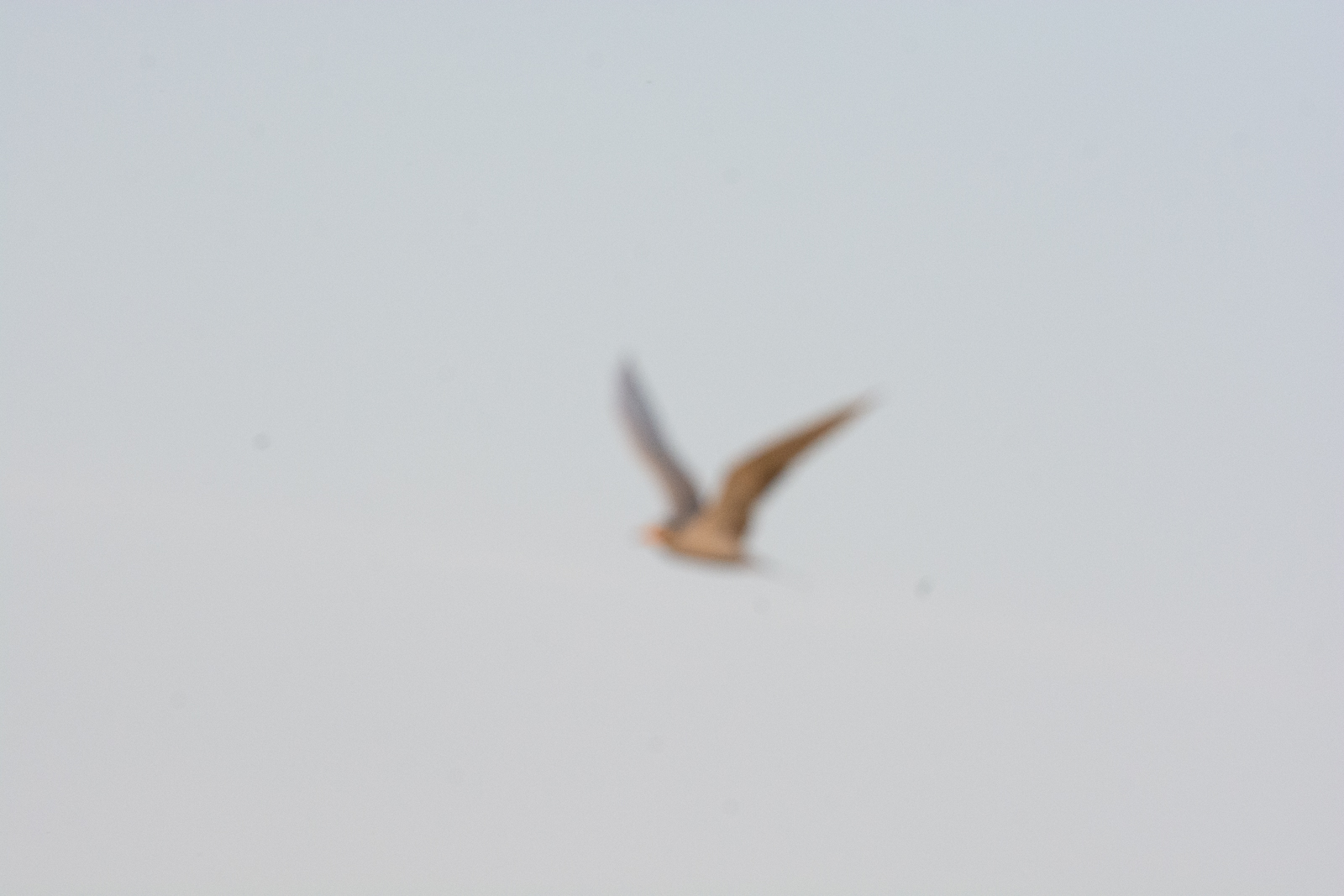 Image: The River Tern was flying at a long distance against a plain blue background. In this type of...