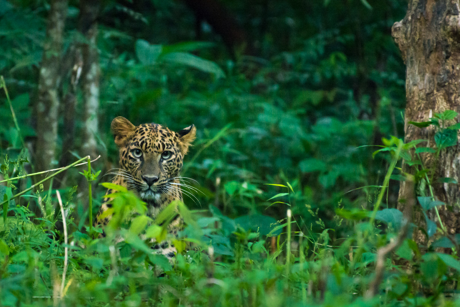 Image: A Leopard during a late winter evening. Focus performance was decent during low light. Exif:...