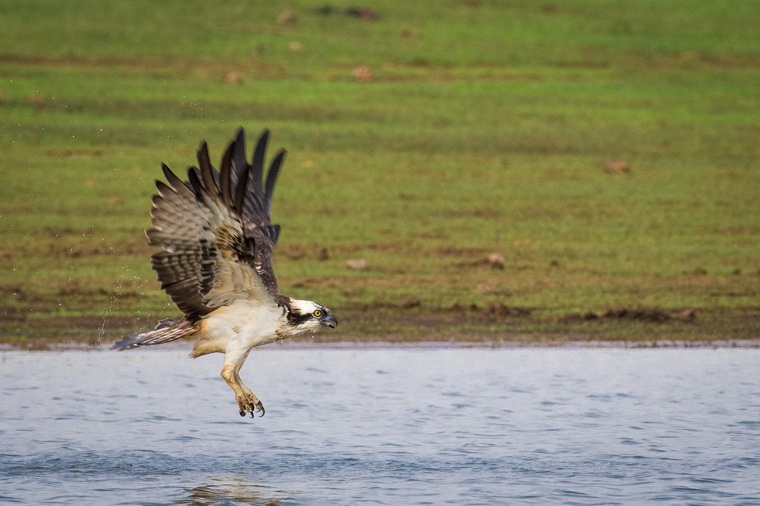 Image: Osprey in flight. Focus performance of the Nikon D500 for Birds in flight is excellent. Exif...