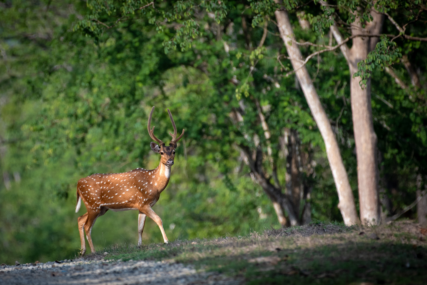 Image: Deer crossing the safari track. The camera's focus performance for distant objects is excelle...