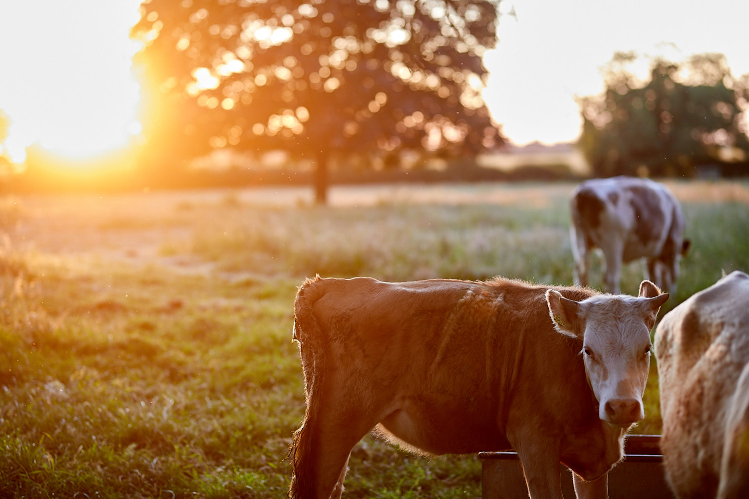A cow in a field at sunset