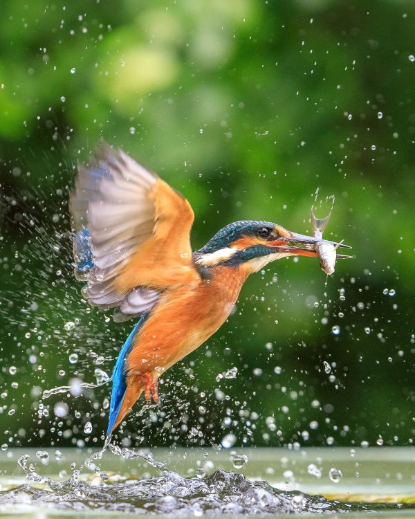 Stunning Capture of Kingfisher Catching a Fish – Behind The Shot