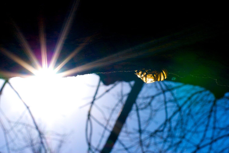cicada with starburst