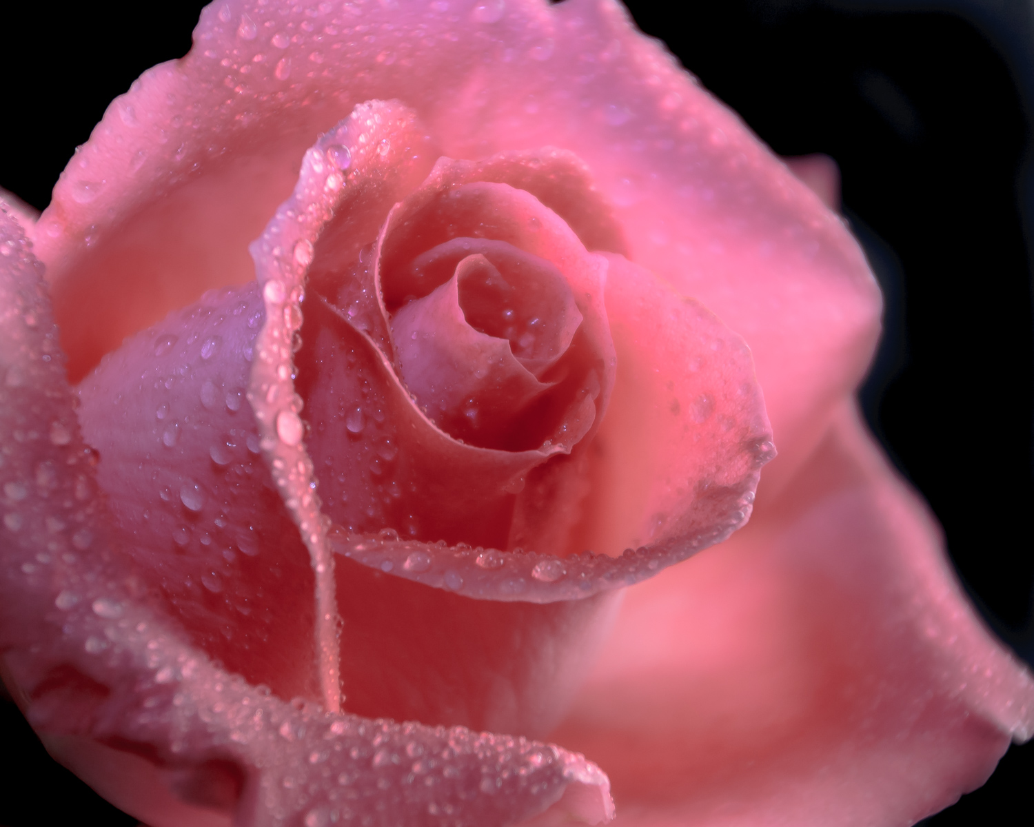 Image: A little spritz with a sprayer makes this rose look fresh and adds interest.