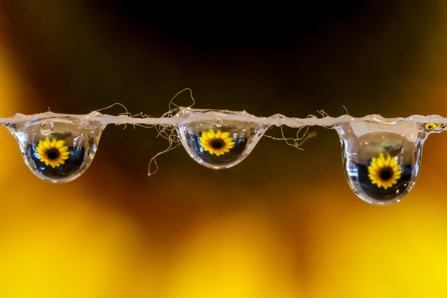 Image: Combining the Tamron 90mm macro with all three extension tubes (for a total of 68mm of extens...
