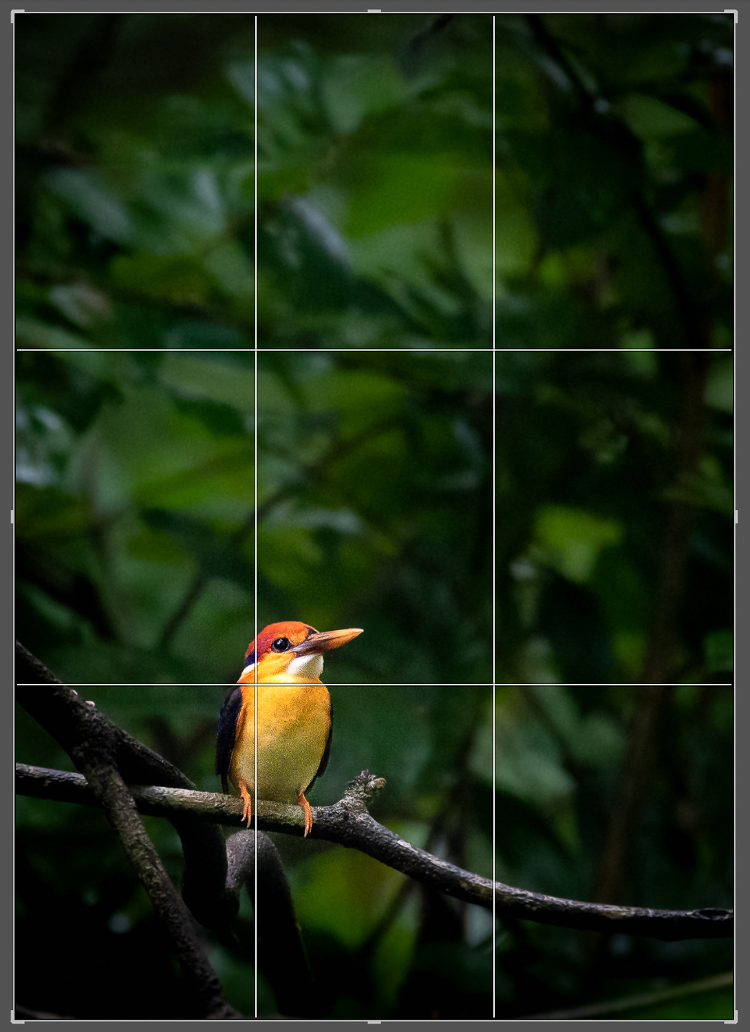 Image: Rule of Thirds – Oriental Dwarf Kingfisher