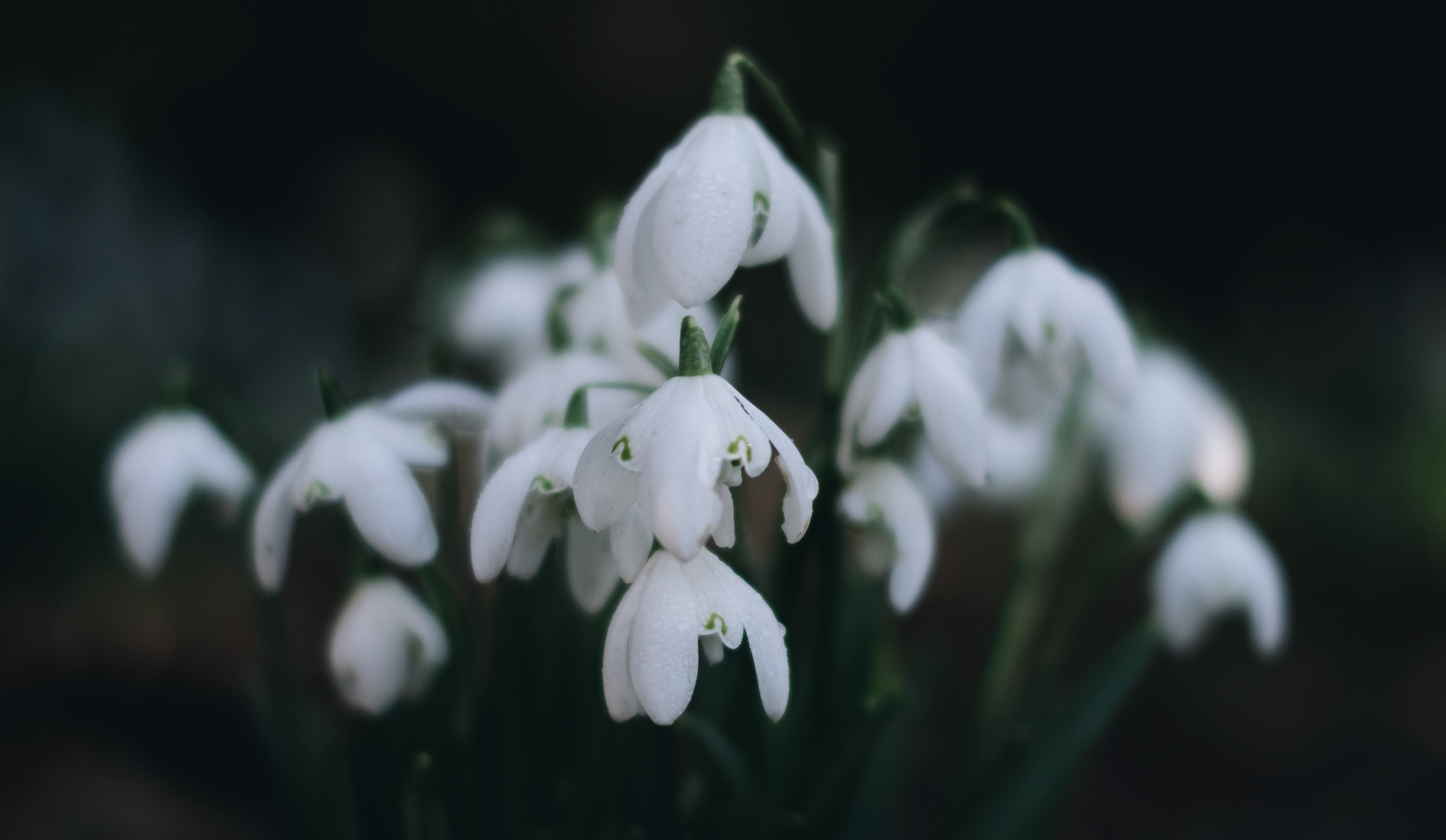 How to Photograph Beautiful Winter Snowdrops (or Other Flowers)
