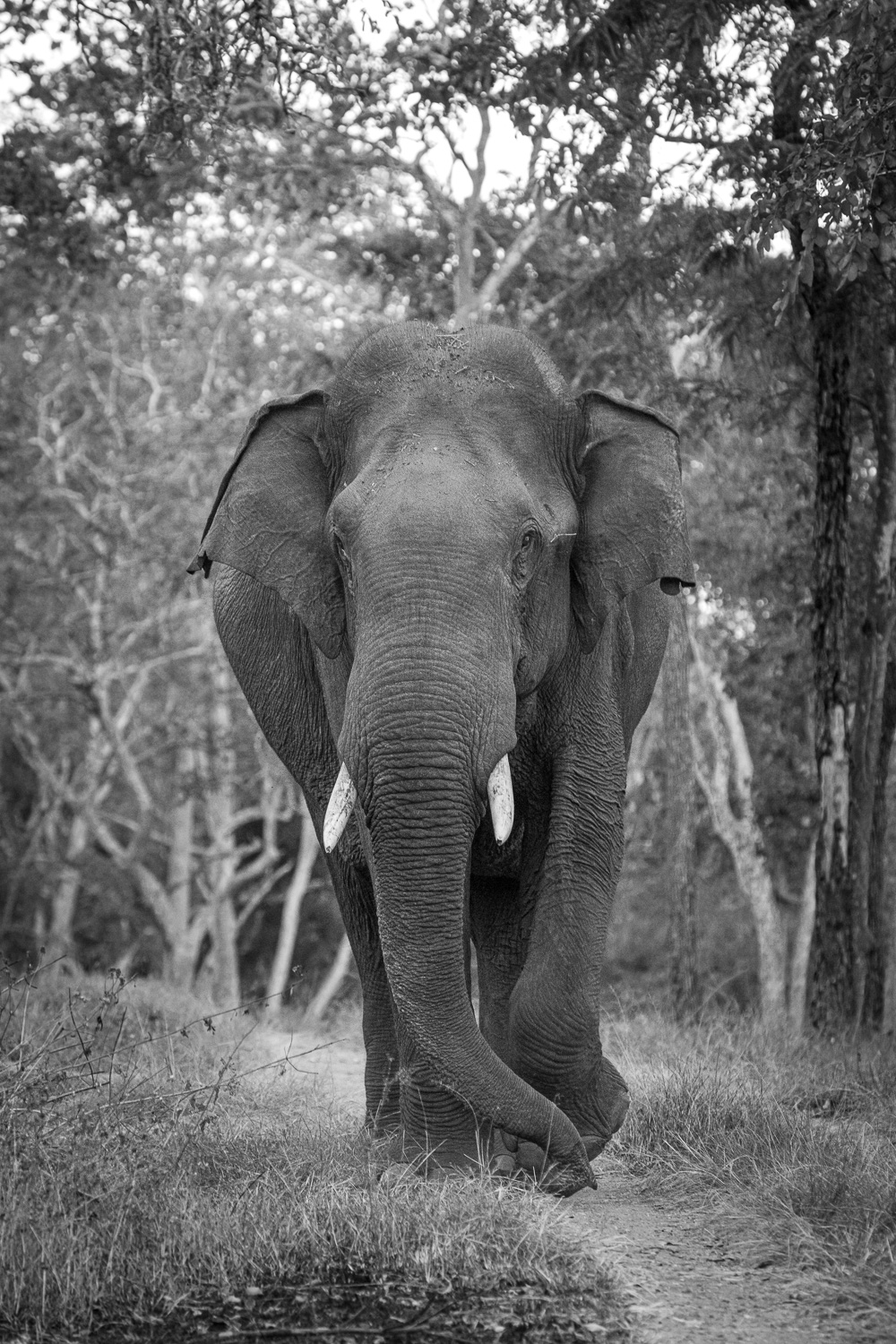 Black and white photo of an elephant walking