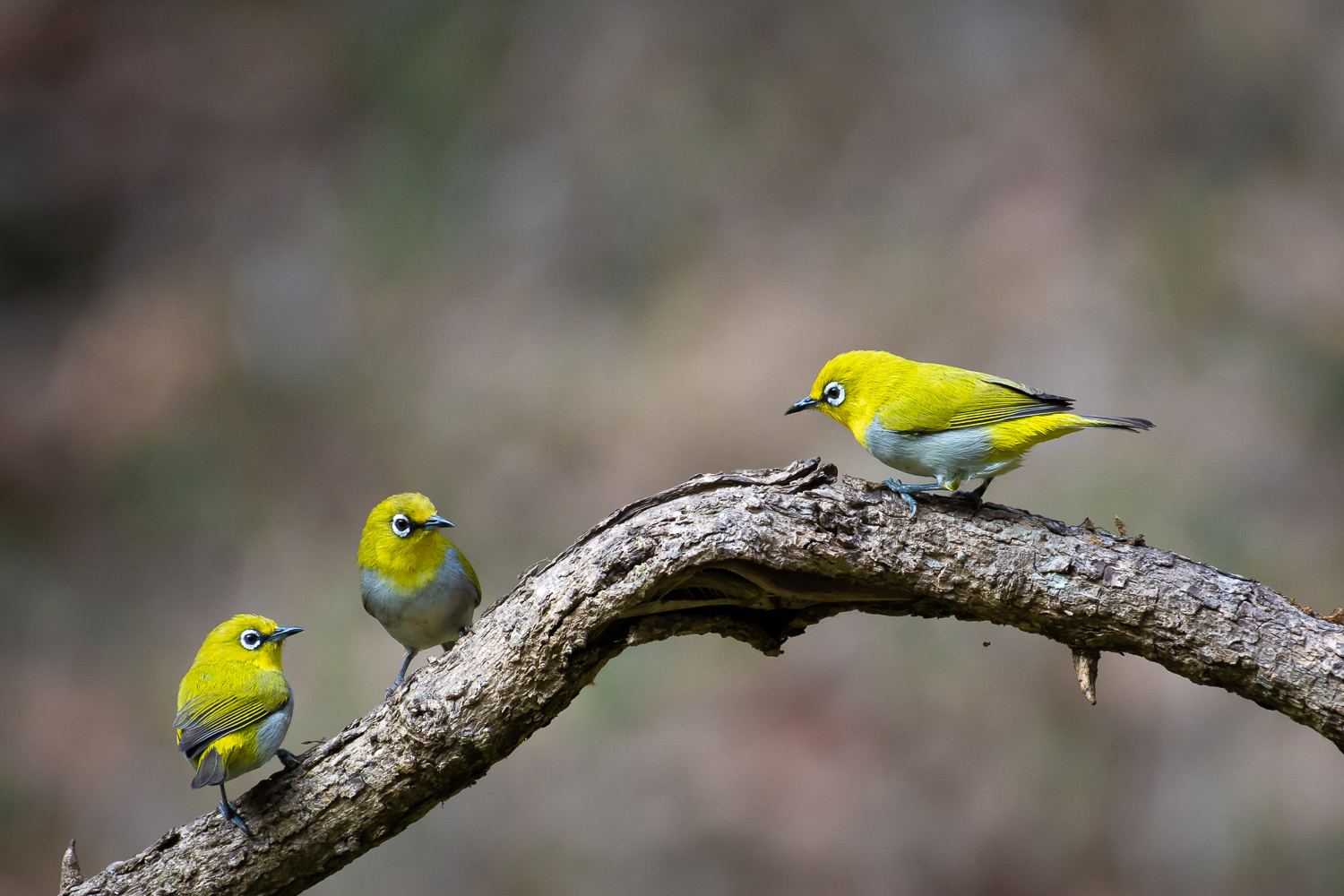 3 oriental white eye birds sitting on a branch