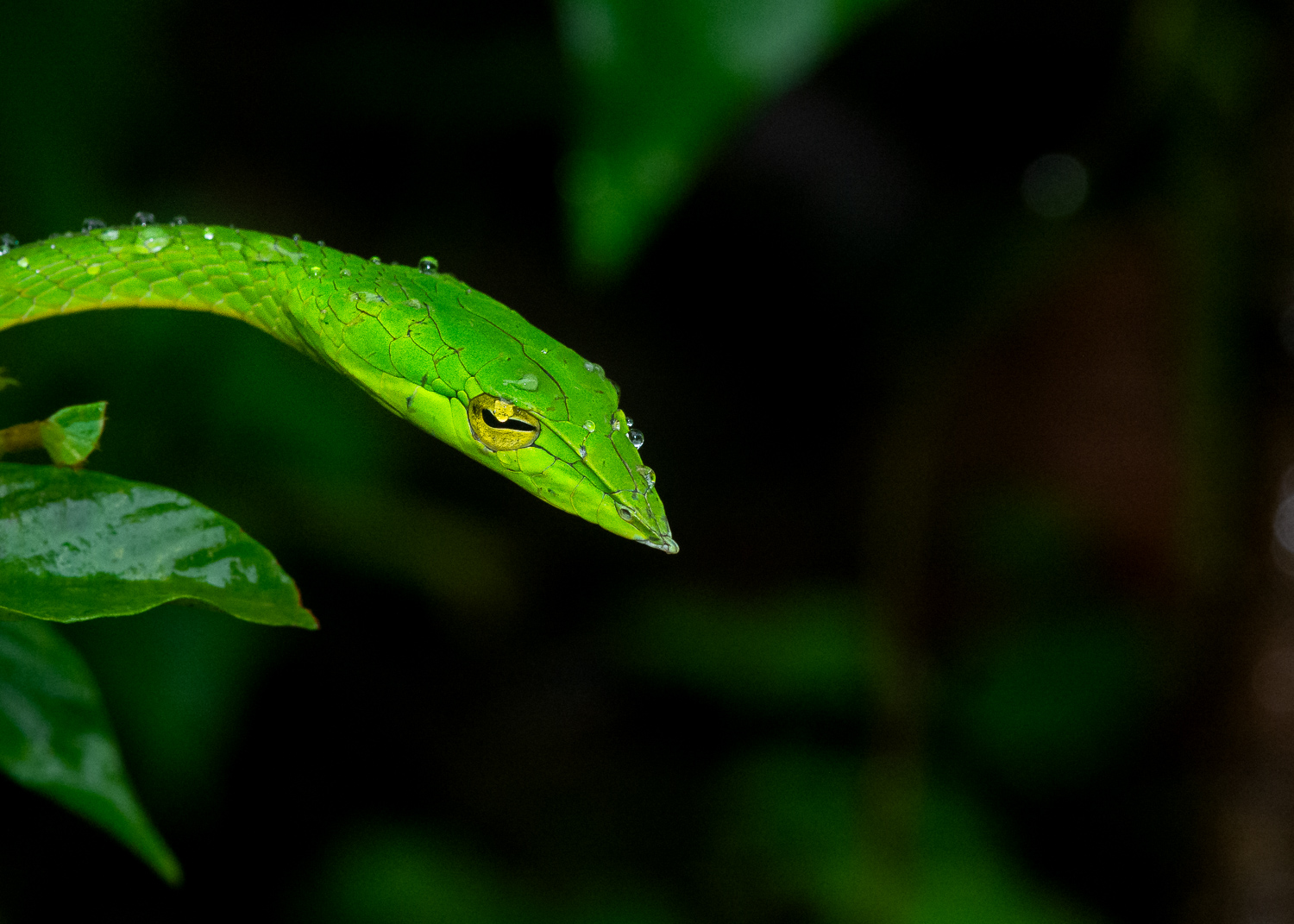 How to Choose the Best Lens for Wildlife Photography - Green vine snake