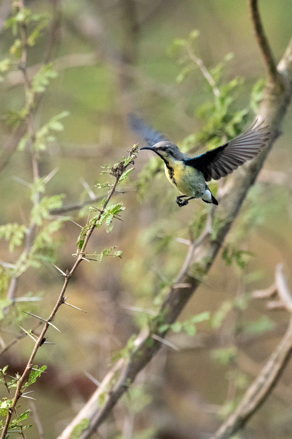 How to Choose the Best Lens for Wildlife Photography - sunbird in flight