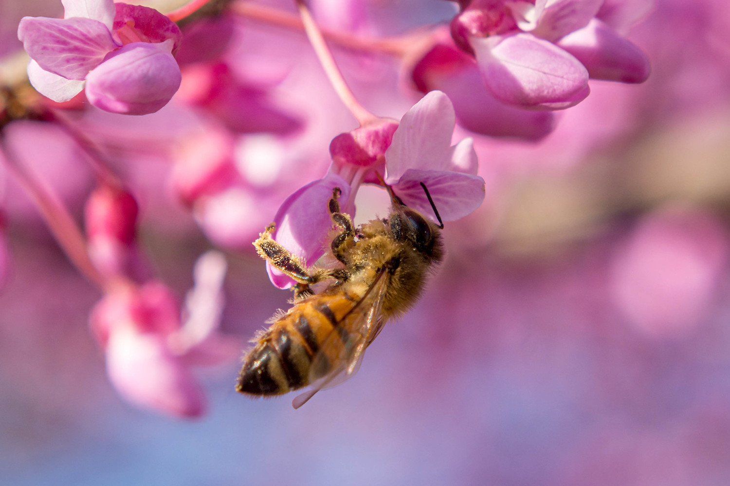 A bee pollinating a pink flower