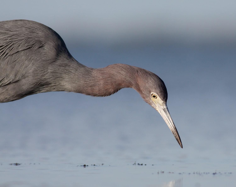 little blue heron choosing a focus mode