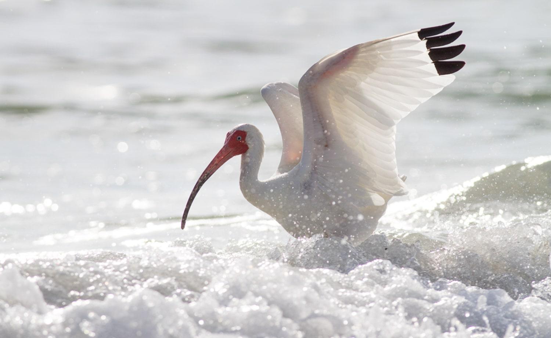 ibis na água, escolhendo um modo de foco