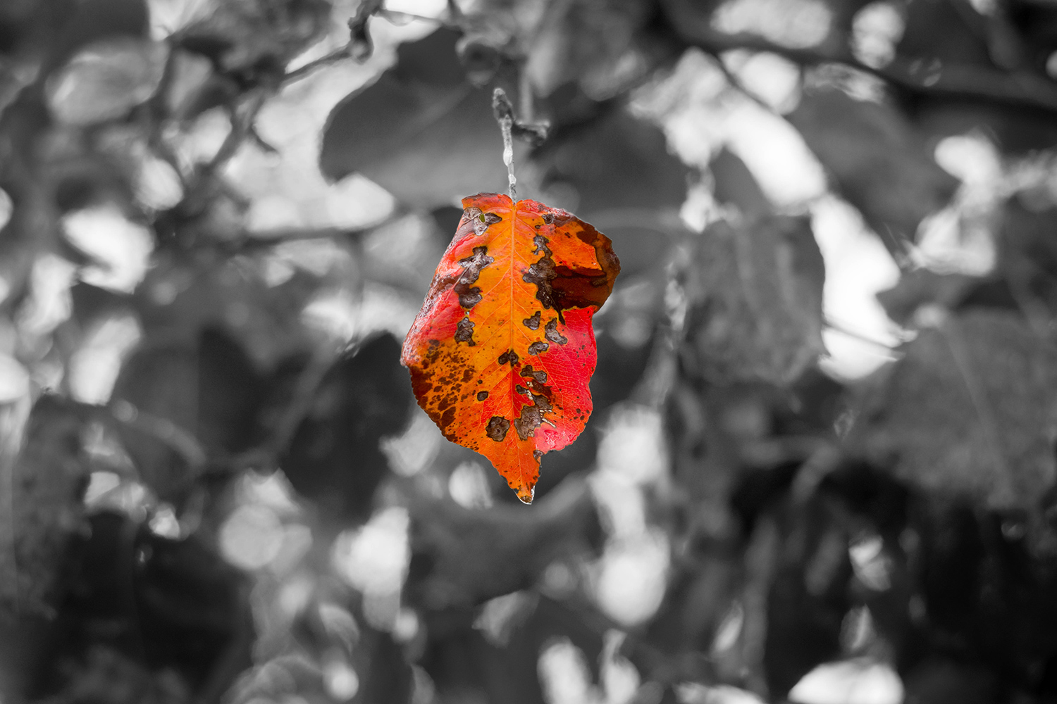 leaf in color with black and white background