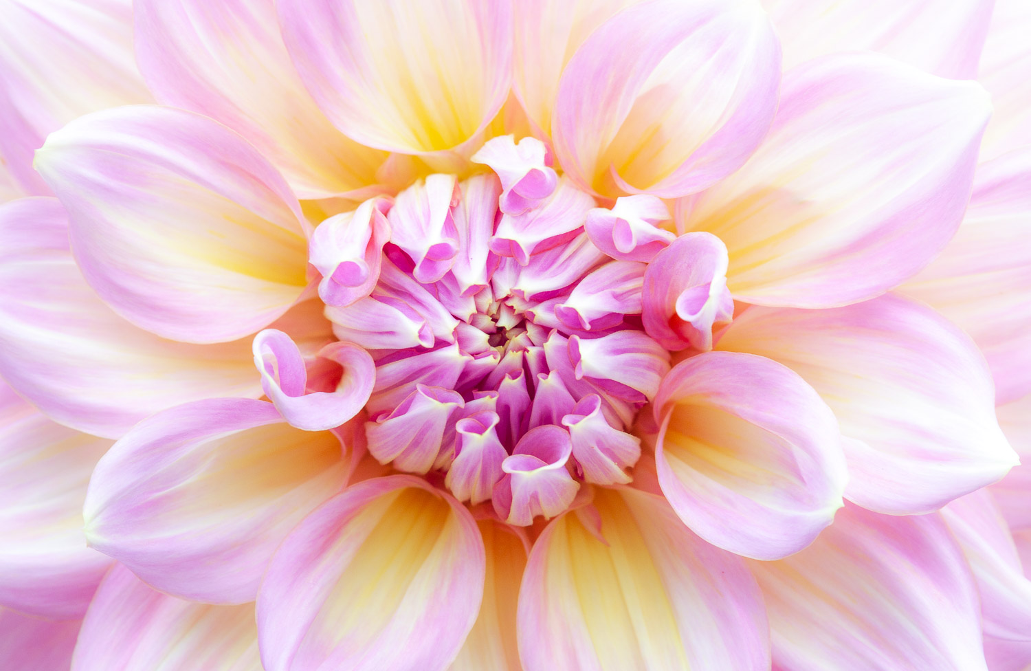 how to take sharp images dahlia