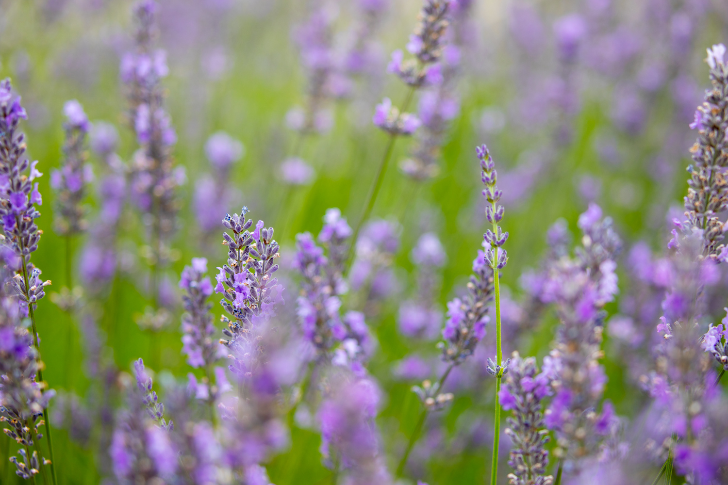 how to create a vignette in Photoshop a starter image of lavender