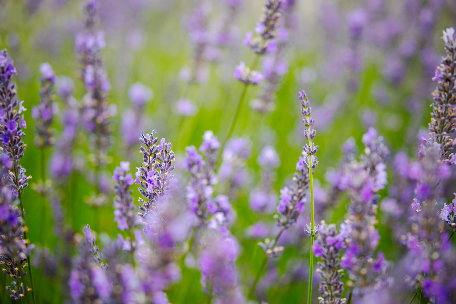 a subtle vignette on a field of lavender how to create a vignette in Photoshop