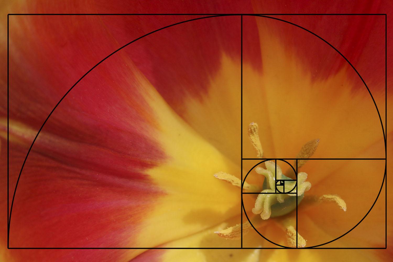 composição em fotografia centro de tulipa
