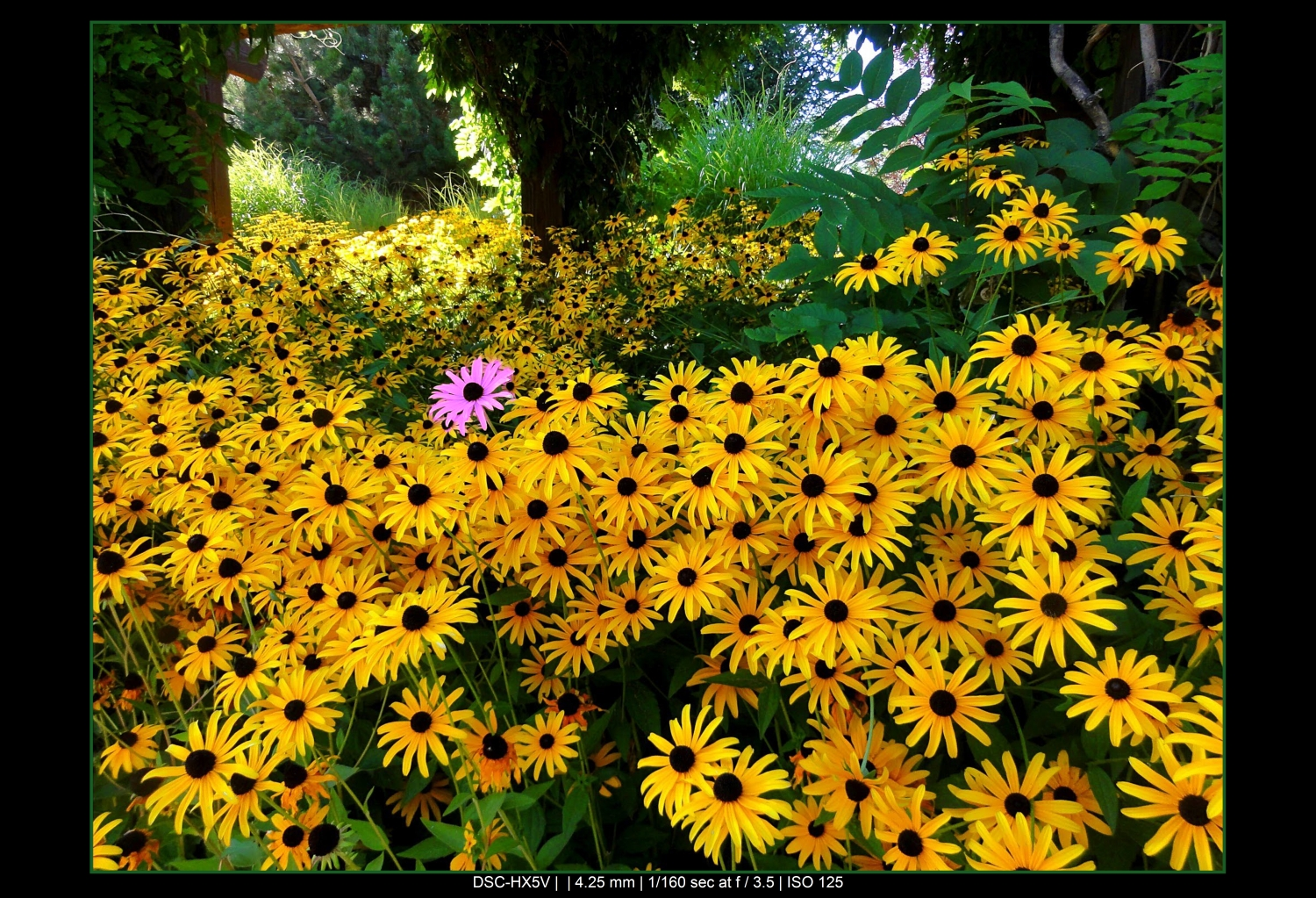 The rule of odds in photography - one pink flower surrounded by yellow flowers