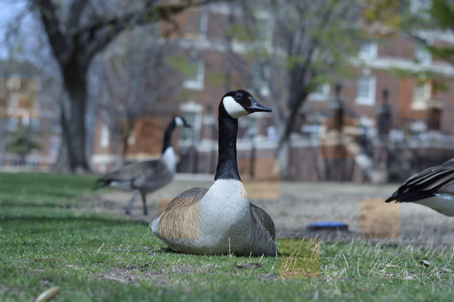 goose on the grass with checkerboard pattern
