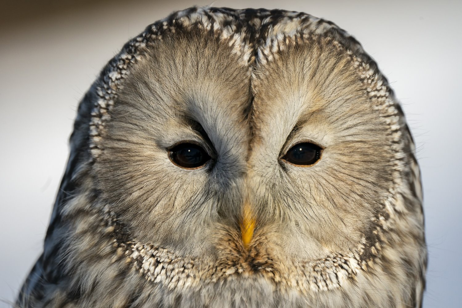 barred owl face close-up