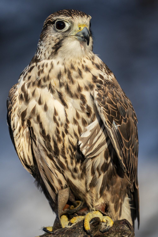 falcon perching