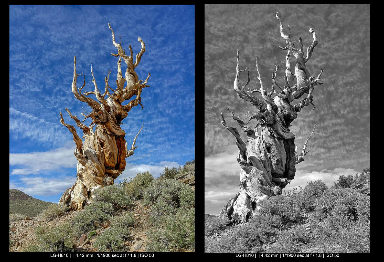bristlecone pines in California smartphone landscape photography