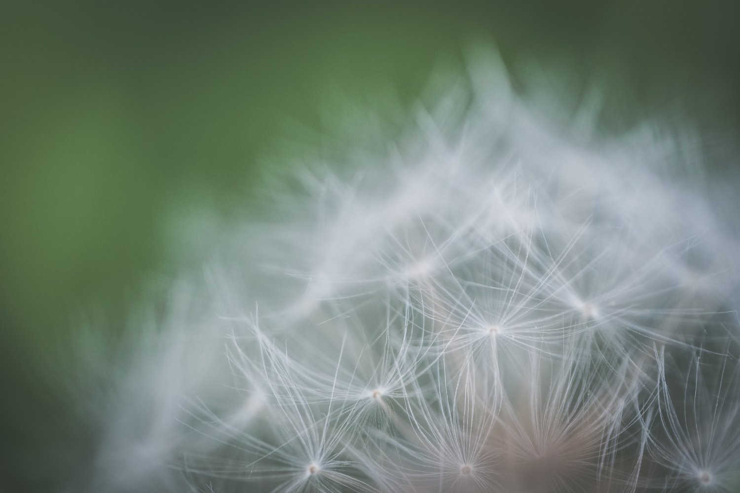 dandelion seed head with a wide aperture
