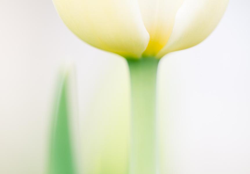 tulip soft focus