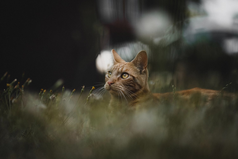 gato na grama com fundo desfocado