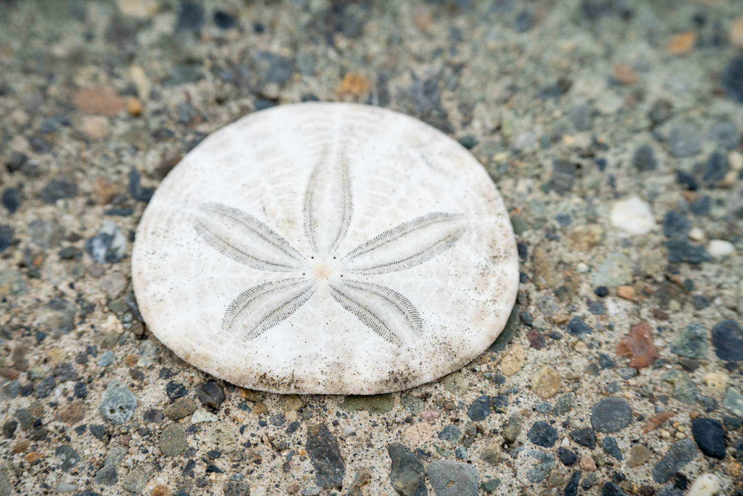 close-up of a sand dollar