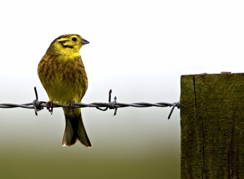Yellowhammer-Look-Over-Post