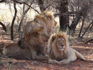 Cinco leones escapan de un parque nacional en Sudáfrica