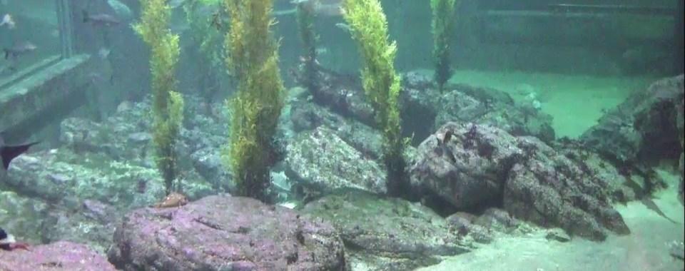 Shark Cam in HD - Monterey Bay Aquarium