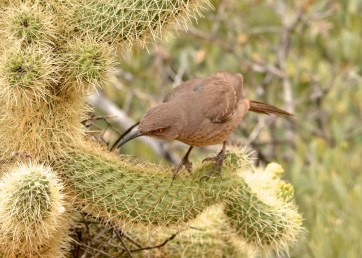 curve-billed-thrasher-tonto-4