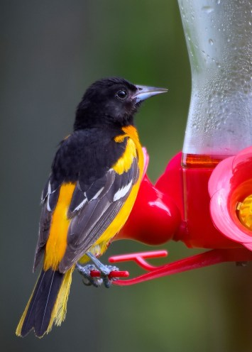 sneaky-oriole-1