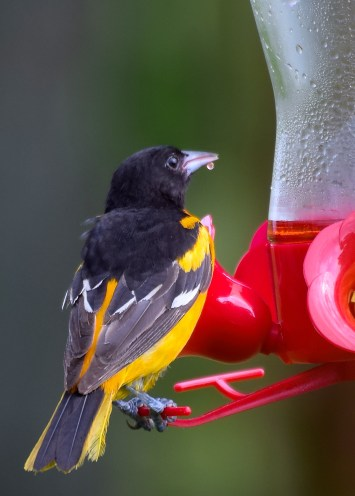 sneaky-oriole-2