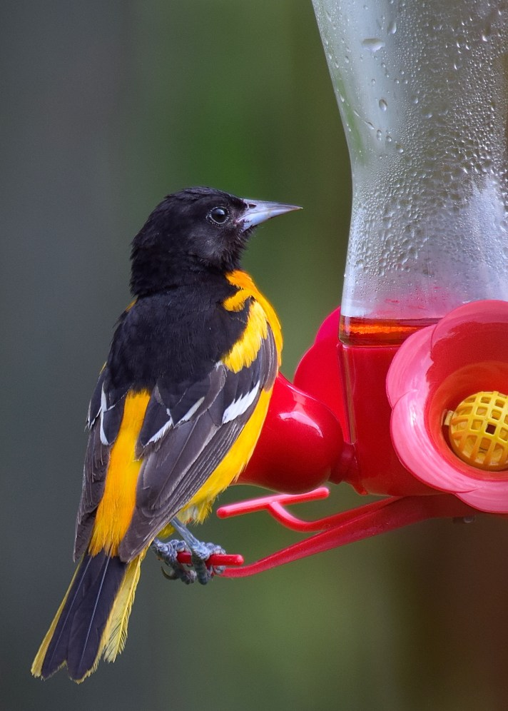 sneaky-oriole-5