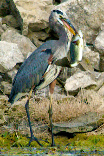 heron-and-bass-3