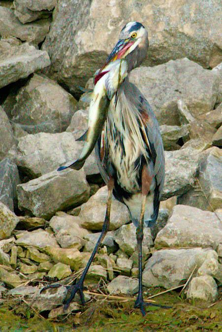 heron-and-bass-5