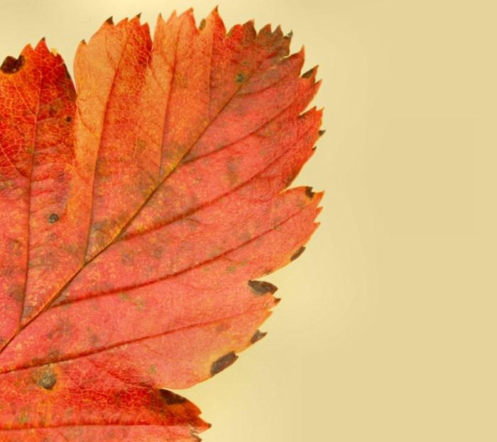 Moto-E-Wallpaper-Leaf