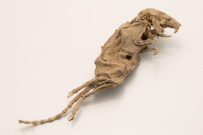 Preserved rat found during the Montpelier Restoration.