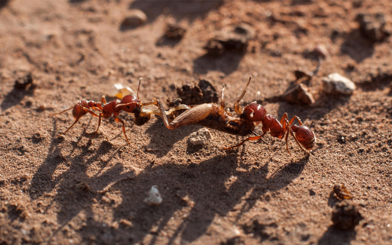 Why are ants one of the most powerful insects in the world?