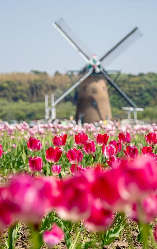 オランダ風車とチューリップ 佐倉チューリップフェスタ