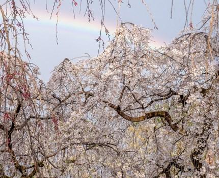 京都の桜散歩 京都御苑 出水の枝垂れ桜 近衛邸跡の糸桜と偶然の虹 #桜 #京都 #虹