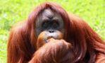 India's Only Orangutan, Dies in Nanda Kannan Zoo | UPSC - IAS