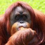 India's Only Orangutan, Dies in Nanda Kannan Zoo   UPSC – IAS